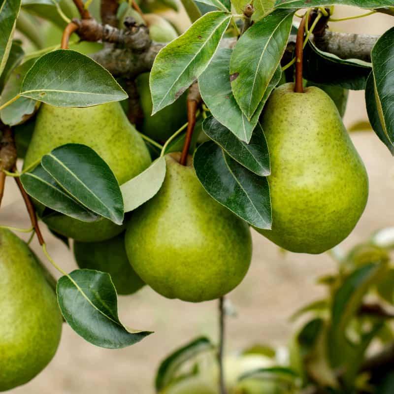 Pear Nutrition: Surprising Immune & Antioxidant Benefits