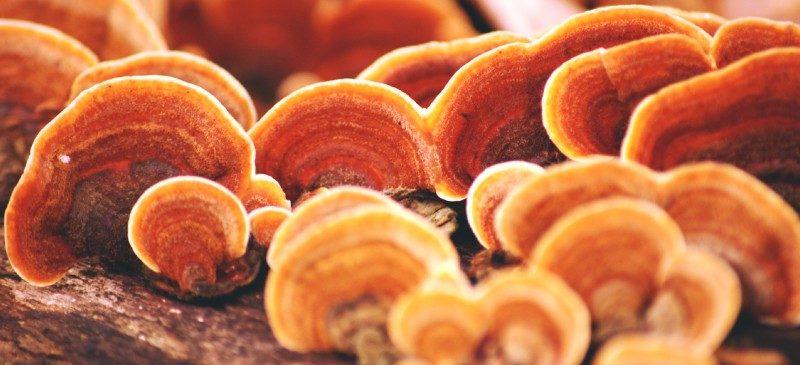 Reishi mushroom - Dr. Axe